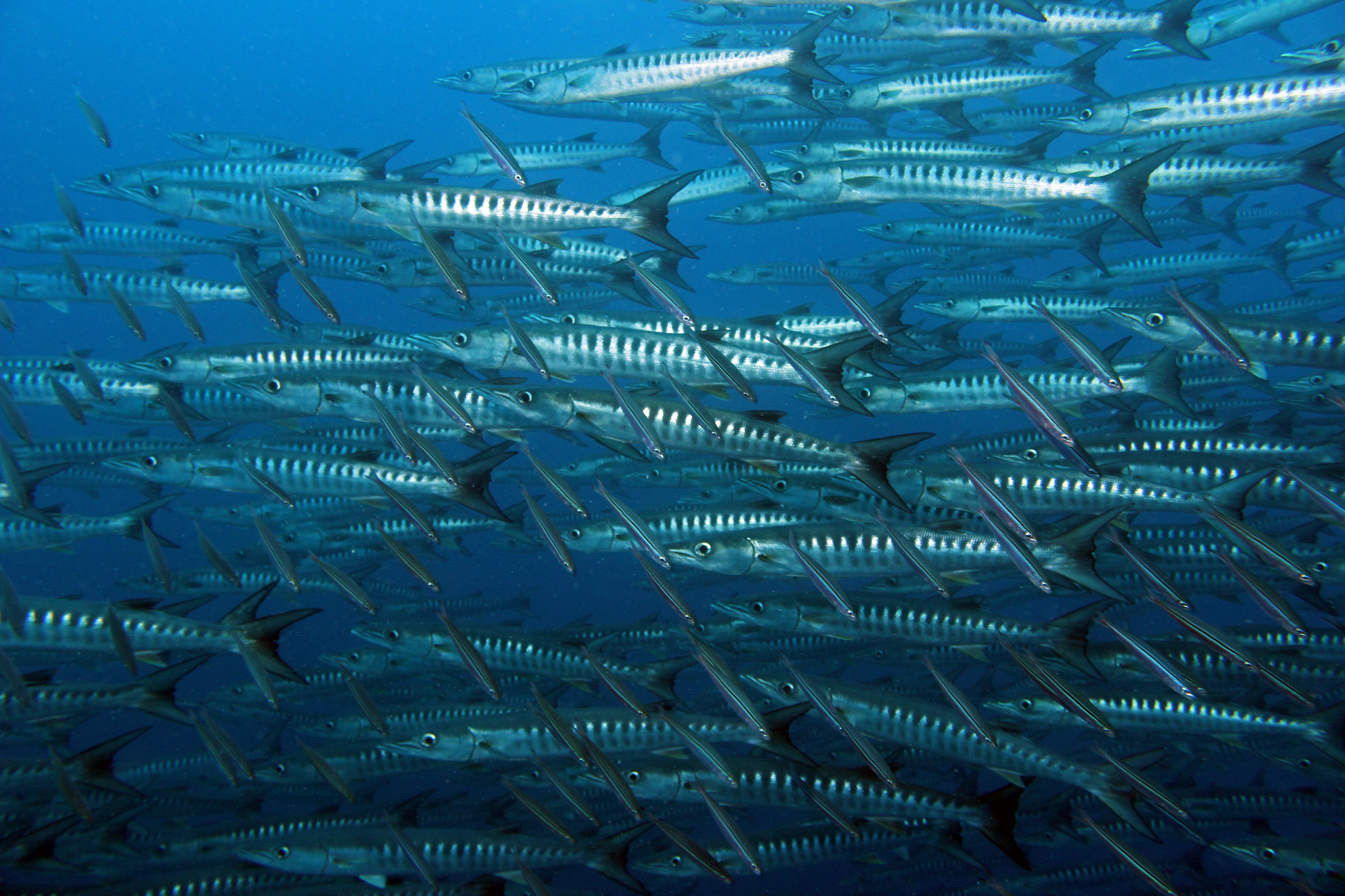 Blackfinn Barracuda
