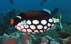 Clown Driggerfish