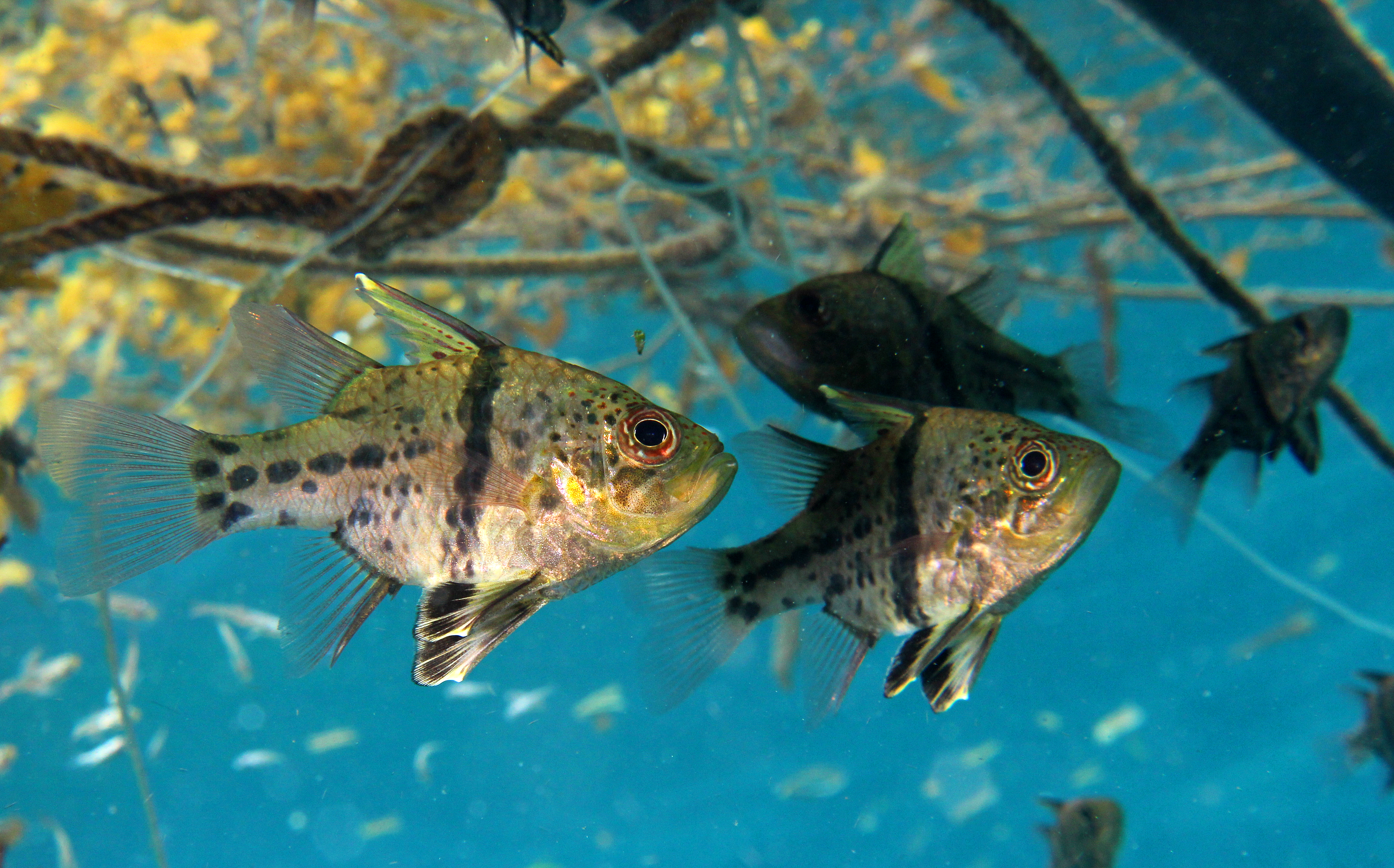 Orbicular Cardinalfish