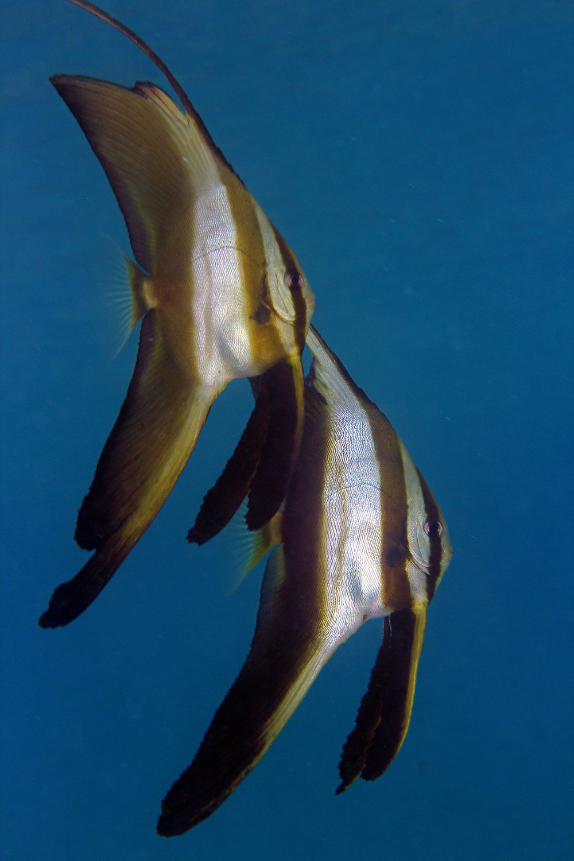 Juvenile Longfin Batfish