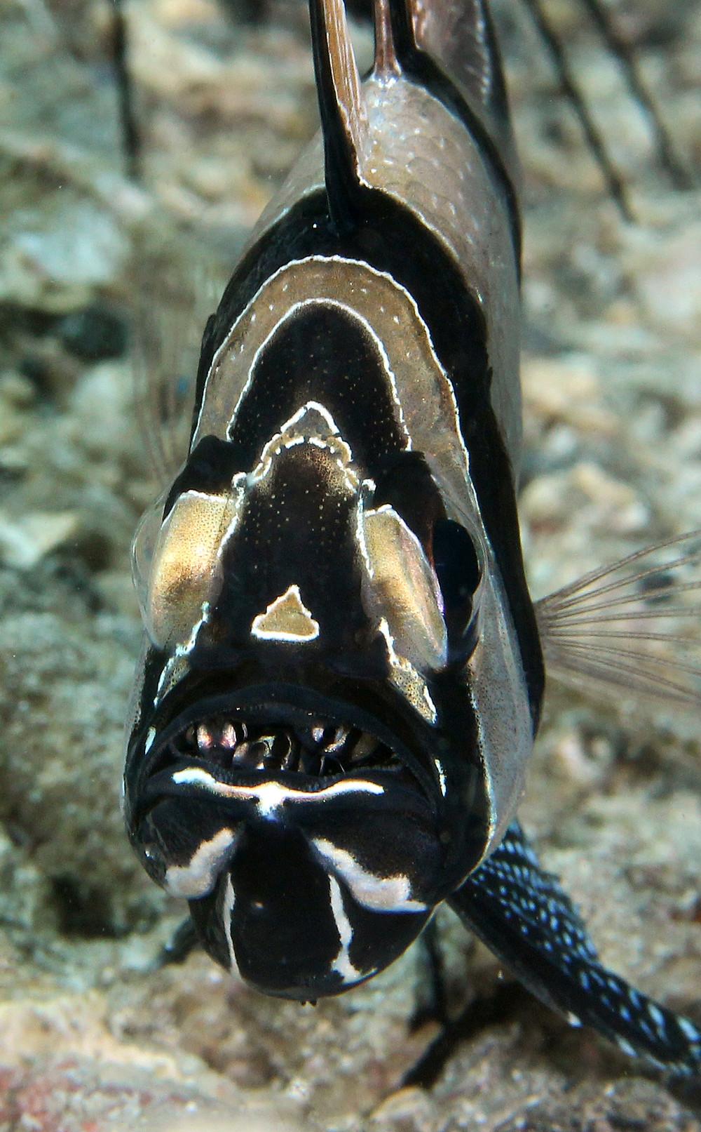Bangai Cardinalfish with Juvenile in his mouth