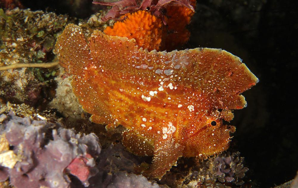 Leafe Scorpionfish
