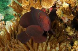 Spinecheeck Anemonefish
