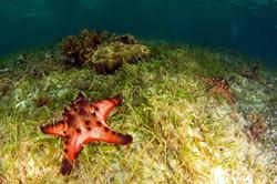 Chocolatte Chip Sea Star