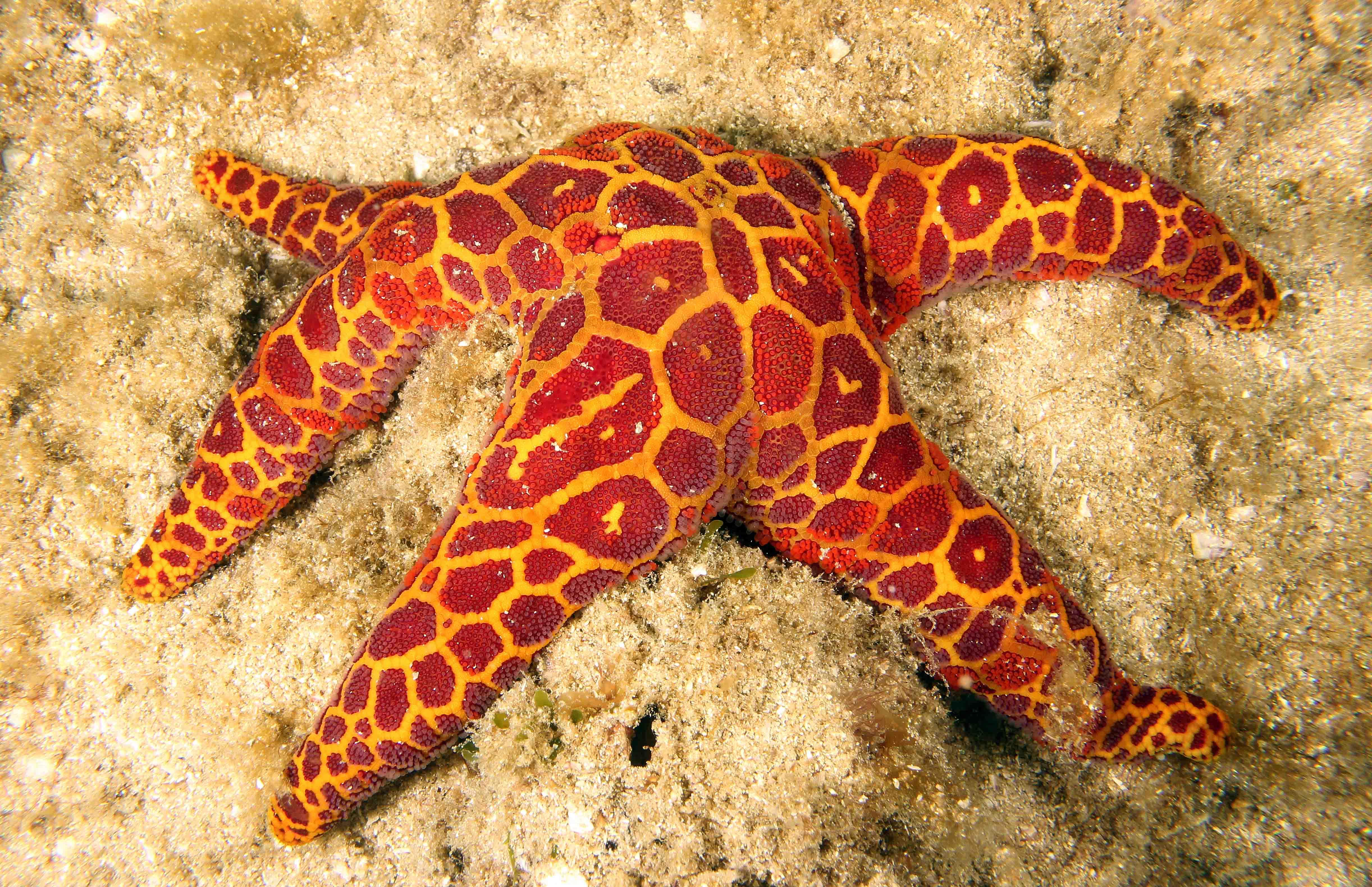 Mosaic Seastar