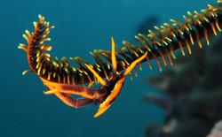 Babas' Crinnoid Squat Lobster