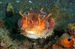 Big Aye  Porcupinefish