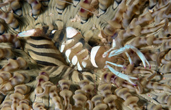 Magnificent Aneomone Shrimp