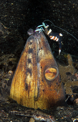 Blackfin Snake Eel