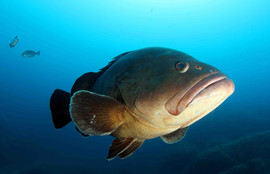 Dusky grouper, brauner Zackenbarsch