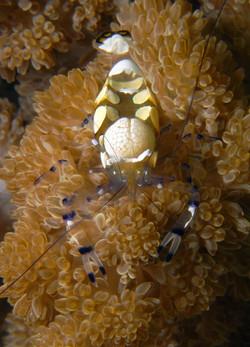 Peacock-Tail Anemone Shrimp