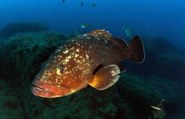 Epinephelus marginatus, Dusky grouper, brauer Zackenbarsch.
