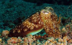 Sepia officinalis. Commen cuttlefish. Gemeiner Tintenfisch