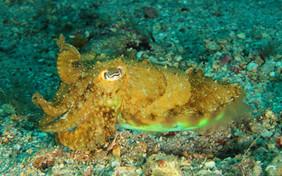 Sepia officinalis, Commen cuttlefish, gemeiner Tintenfisch