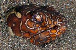 Napoleon Snake Eel