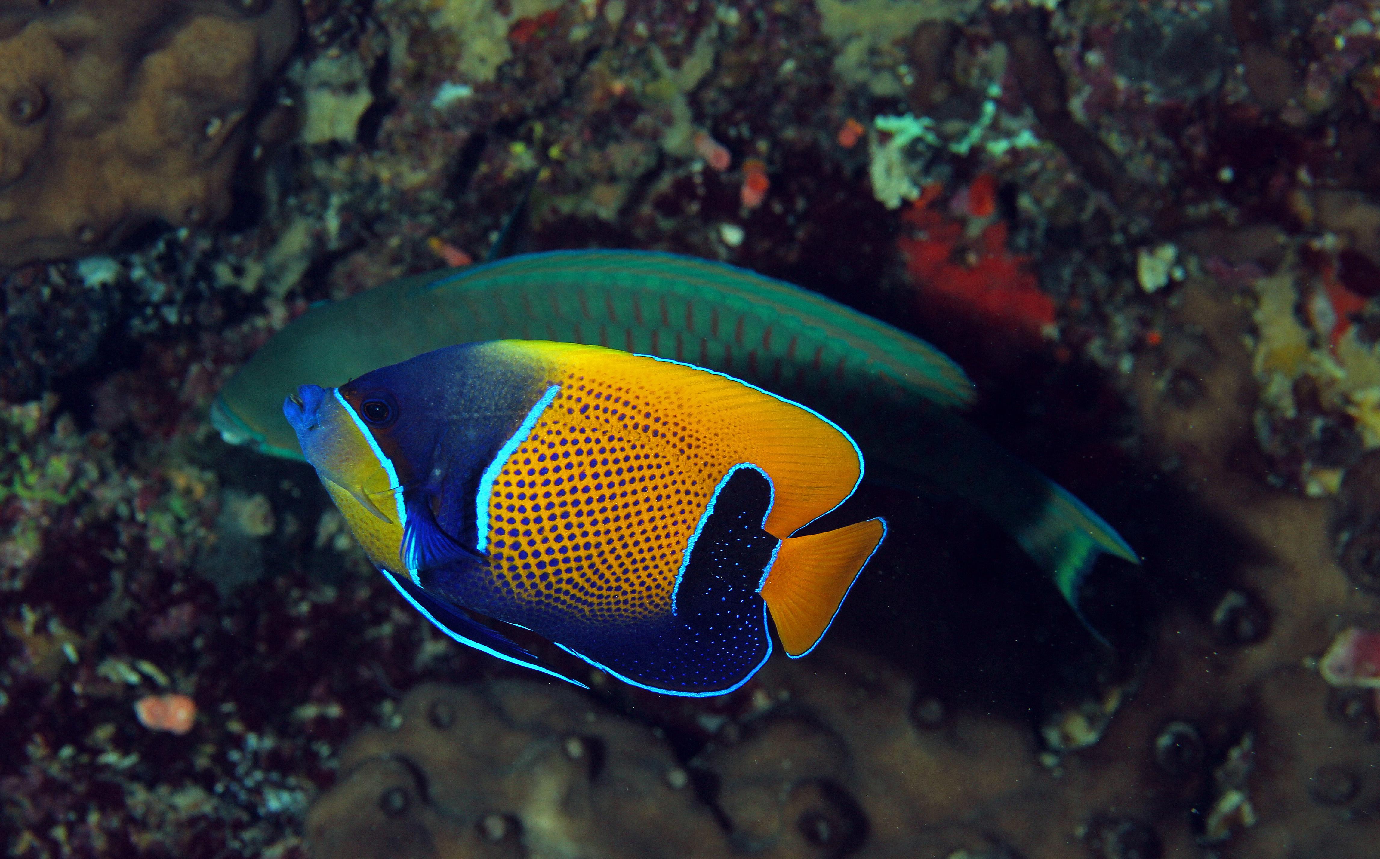 Traumkaiserfisch, Papageienfisch