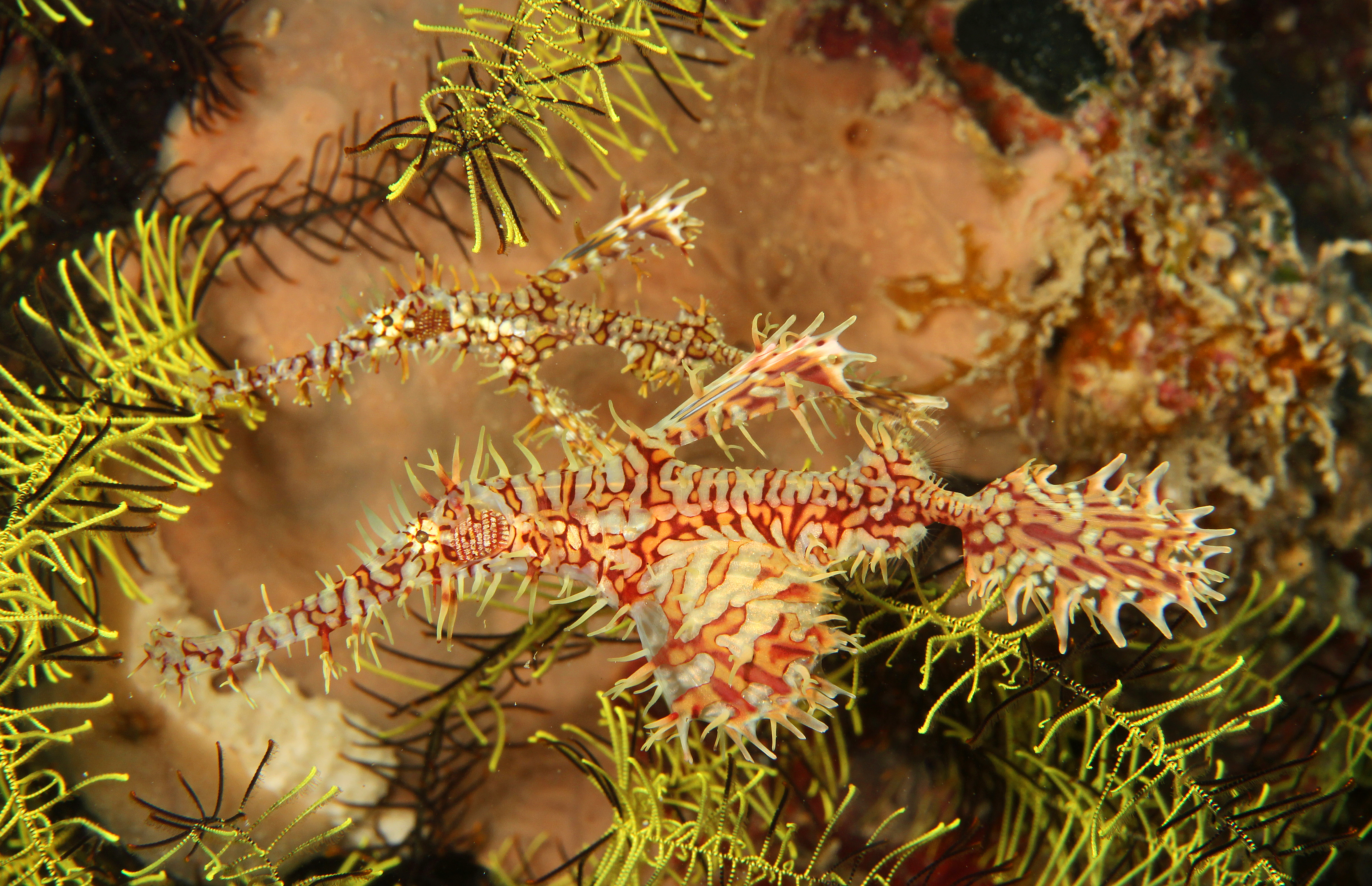Ornate Ghosth Pipefish