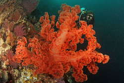 Soft Coral 2