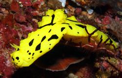 Banana Nudibranch
