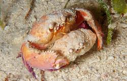 Long Eyed Box Crab