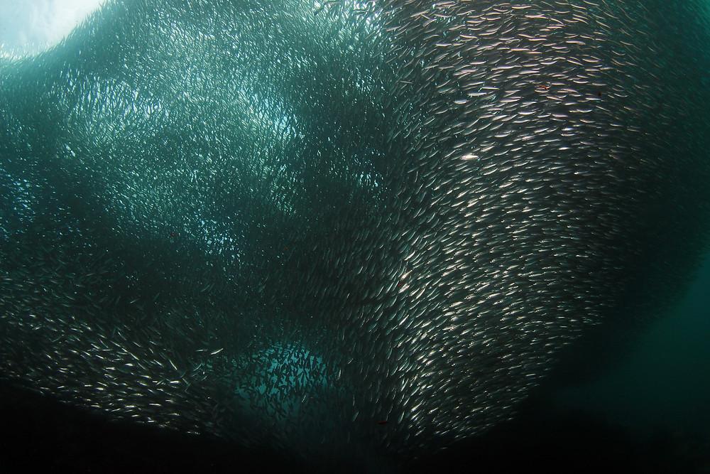 Schooling Sardines