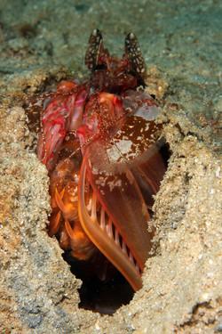 Lisa's Mante Shrimp