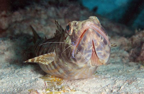Eidechsenfisch mit Putzergarnele