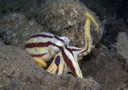 Poison Ocellate Octopus