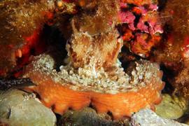 Octopus vulgaris, Commen Octopus, Oktopus