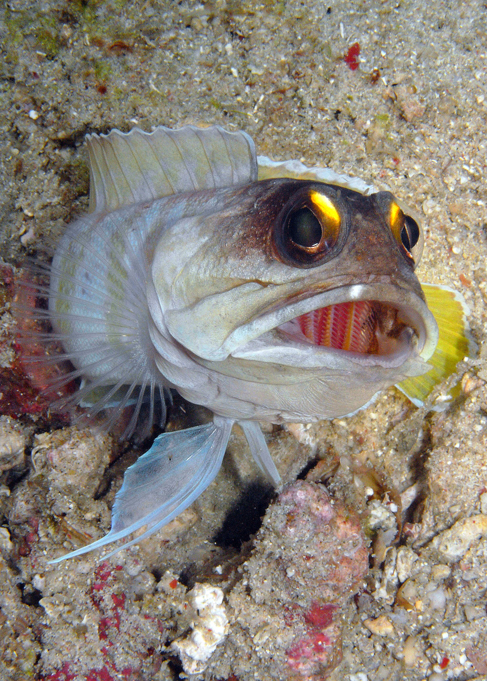 Jellowbarred Jawfish