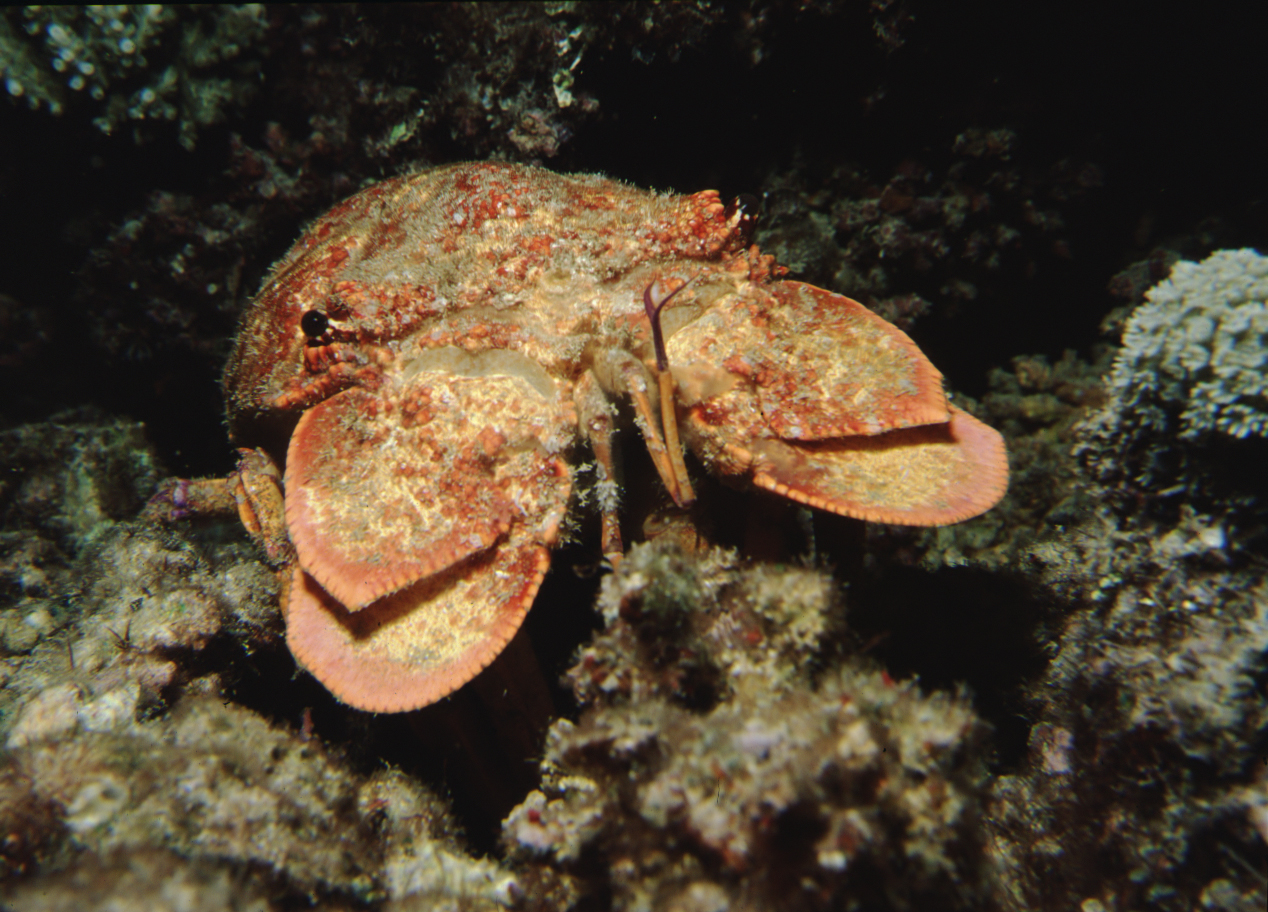 Ridgeback Slipper Lobster