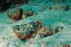 Falshe Stonefish