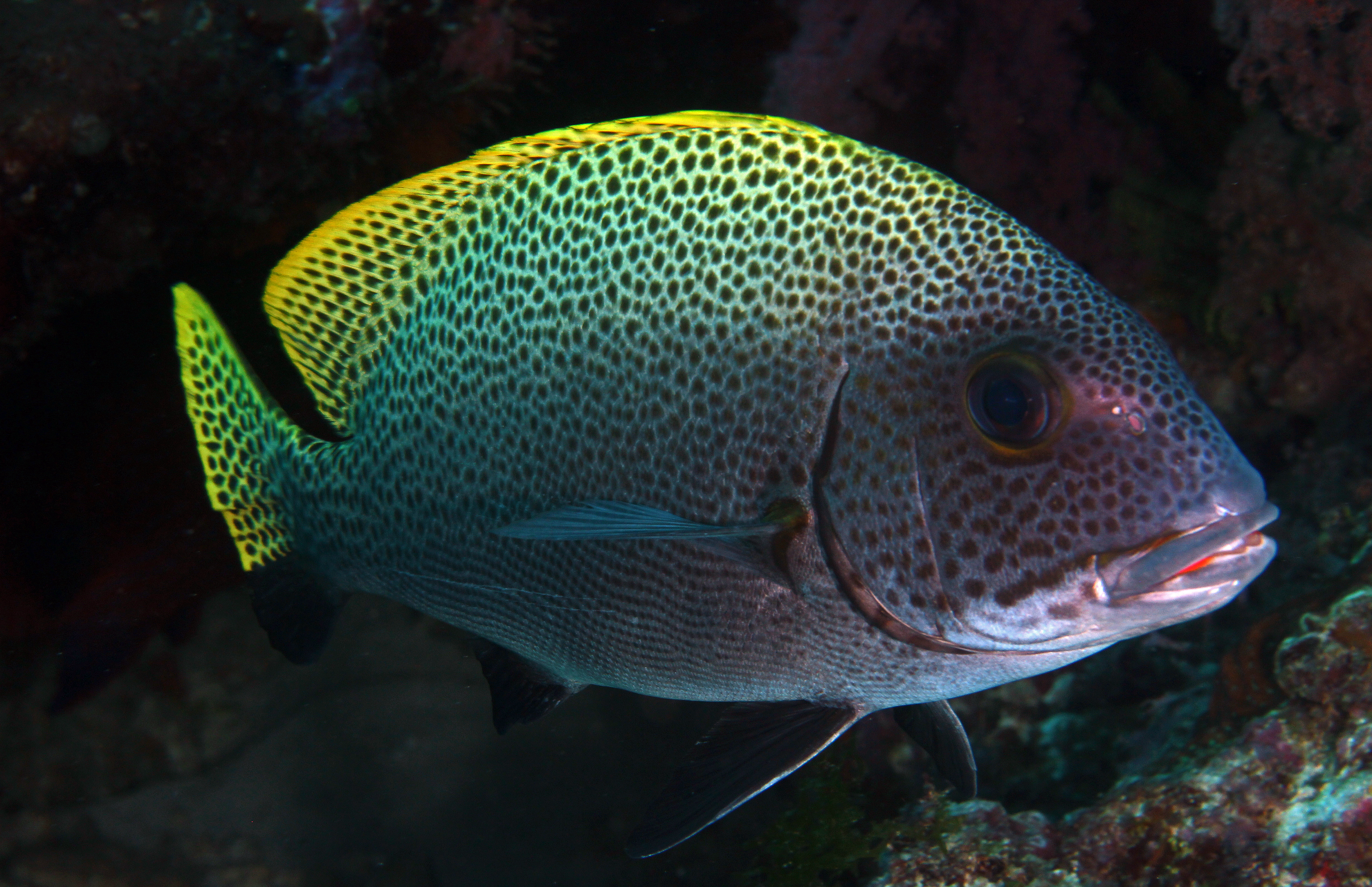 Indonesien Sweetlips