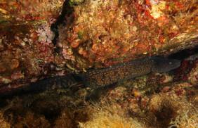 Muraena helena. Mediterraenan moray, Mittelmeermuräne.