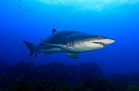 10 Ein Sandtigerhai.JPG
