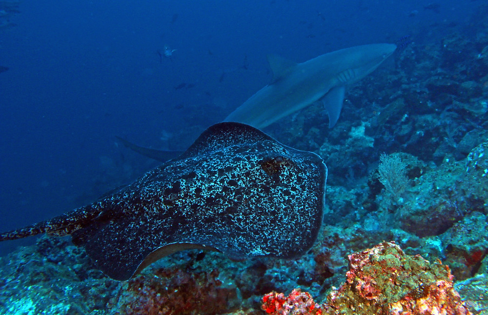 Marpeled Stingray / Galapagos Shark