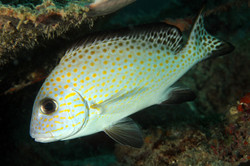 Gold-Spotted Sweetlips