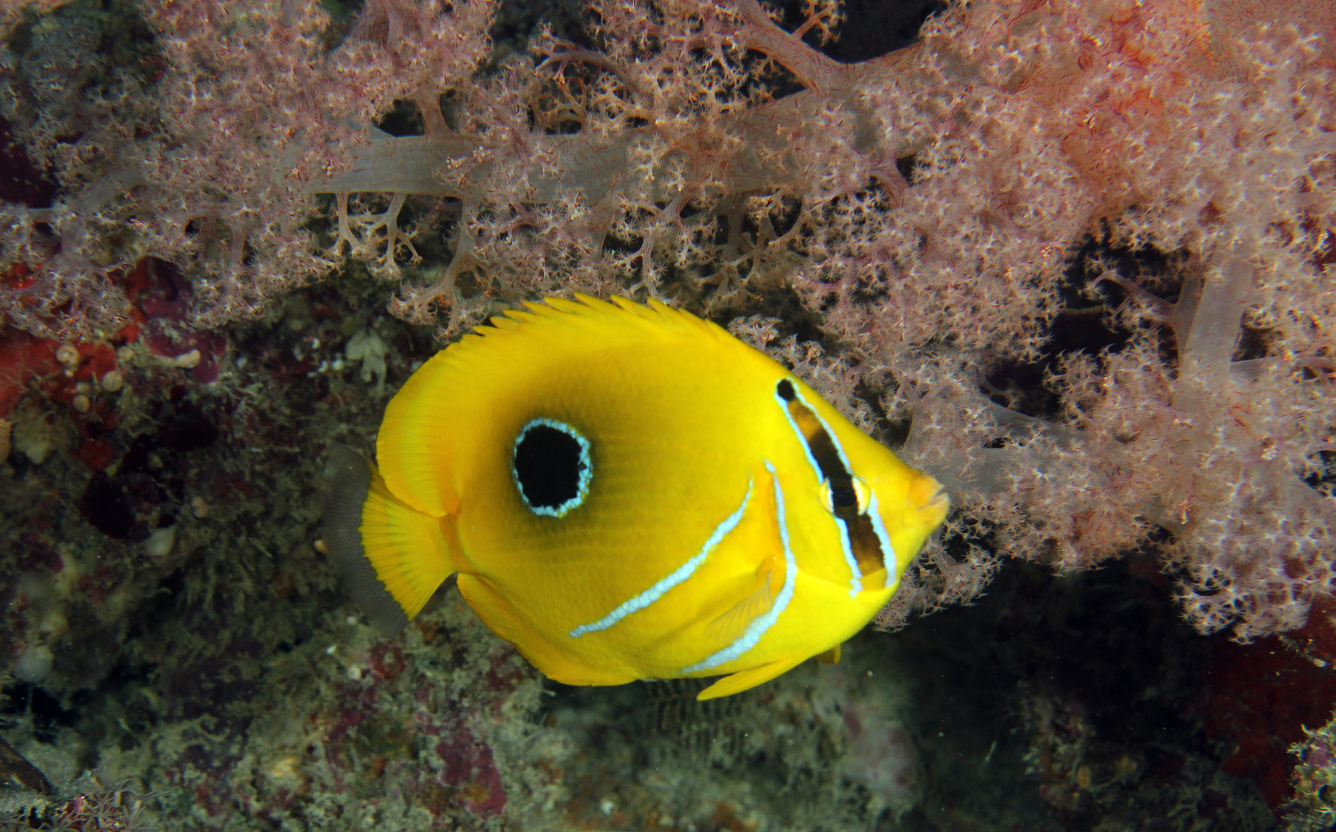 Eclipse Butterflyfish