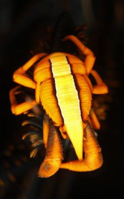 Baba's Crinoid Squat Lobster