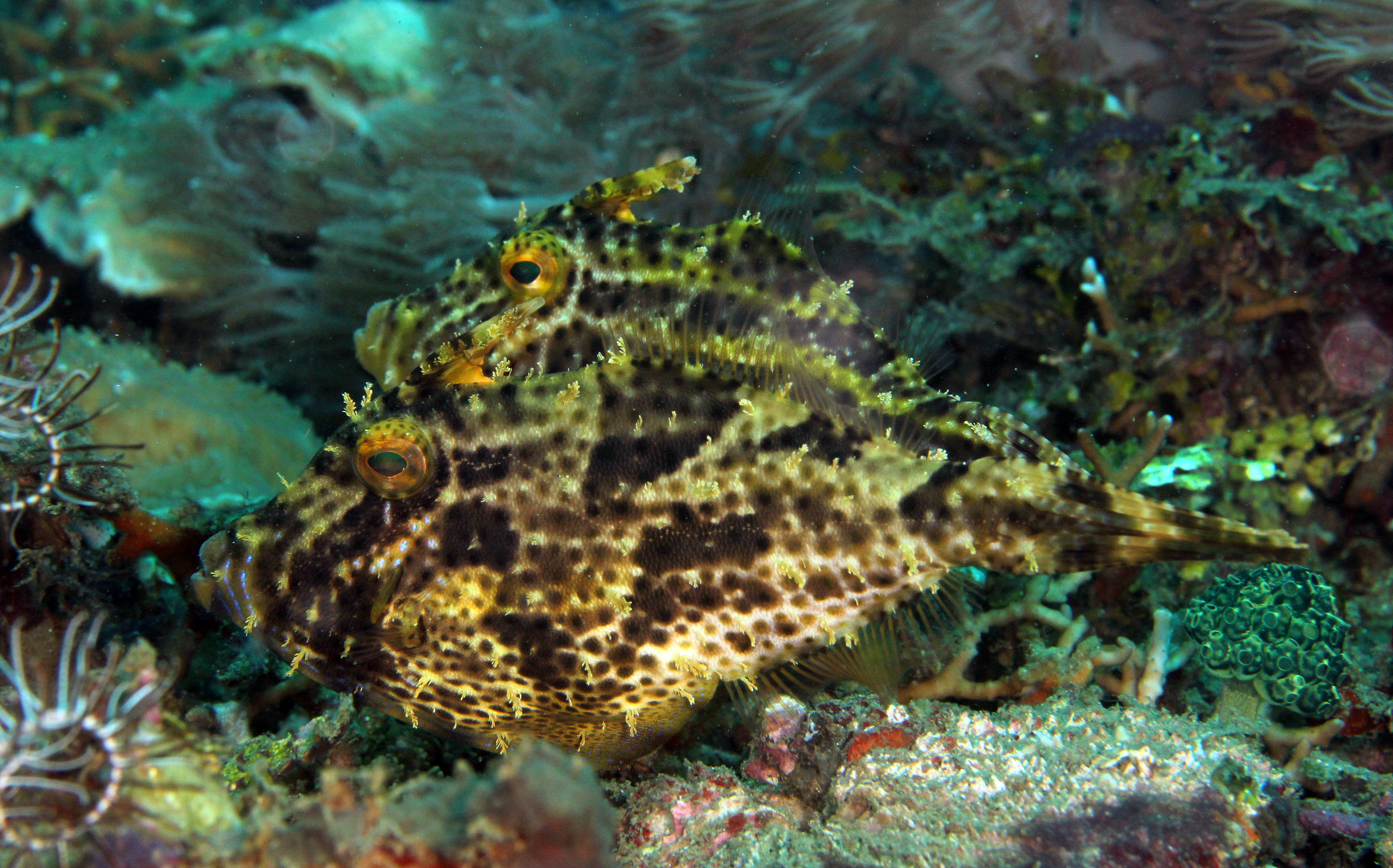 Strapweed Filefish
