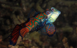 Mandarinfishes