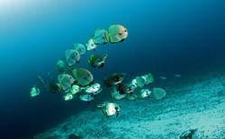 Golden Spadefish Adult