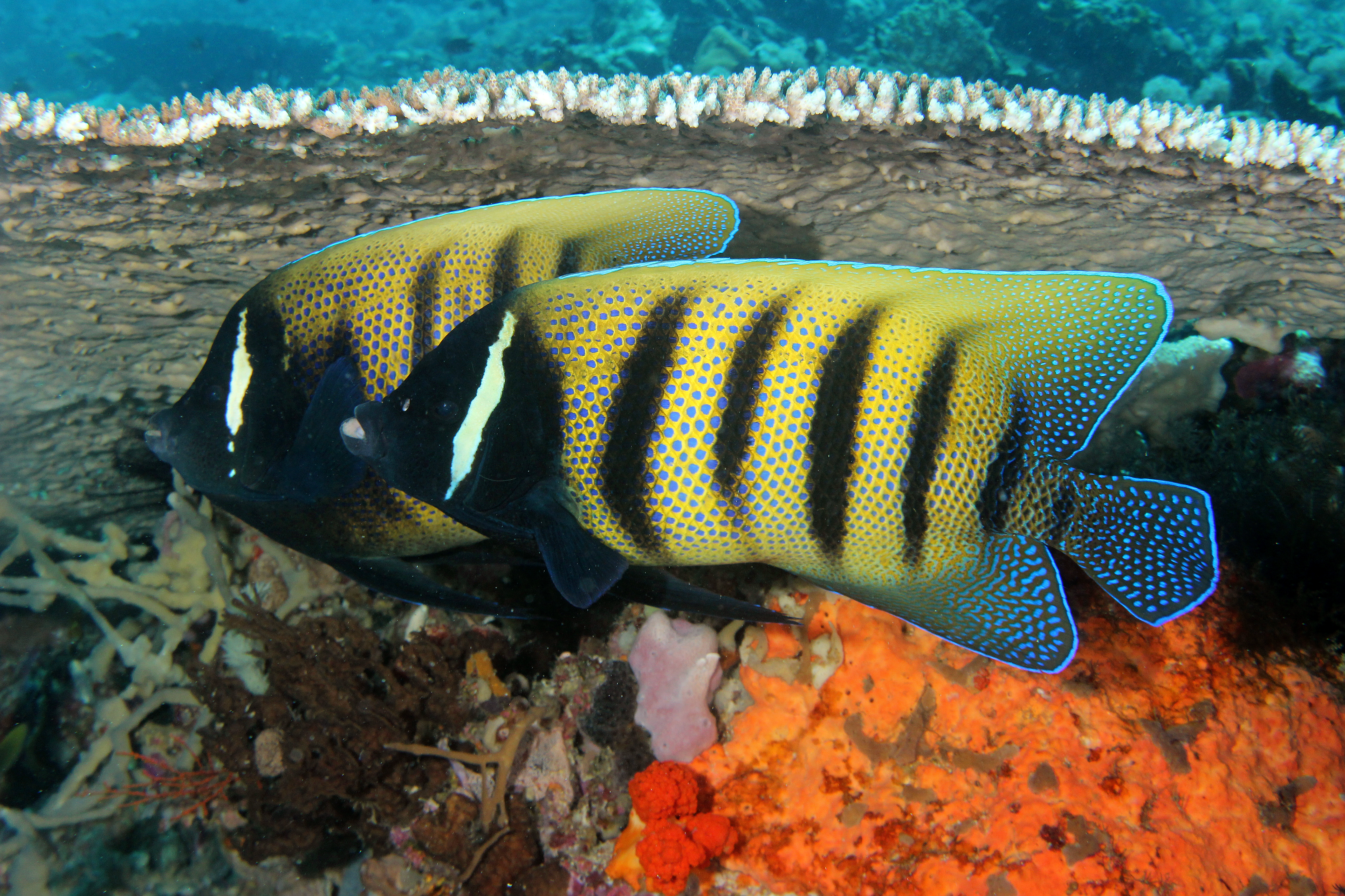 Six Banded Angelfish