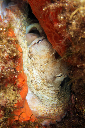 Octopus vulgaris, Commen octous, Oktopus.
