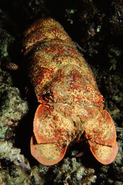 Ridgeback Slipper Lobster