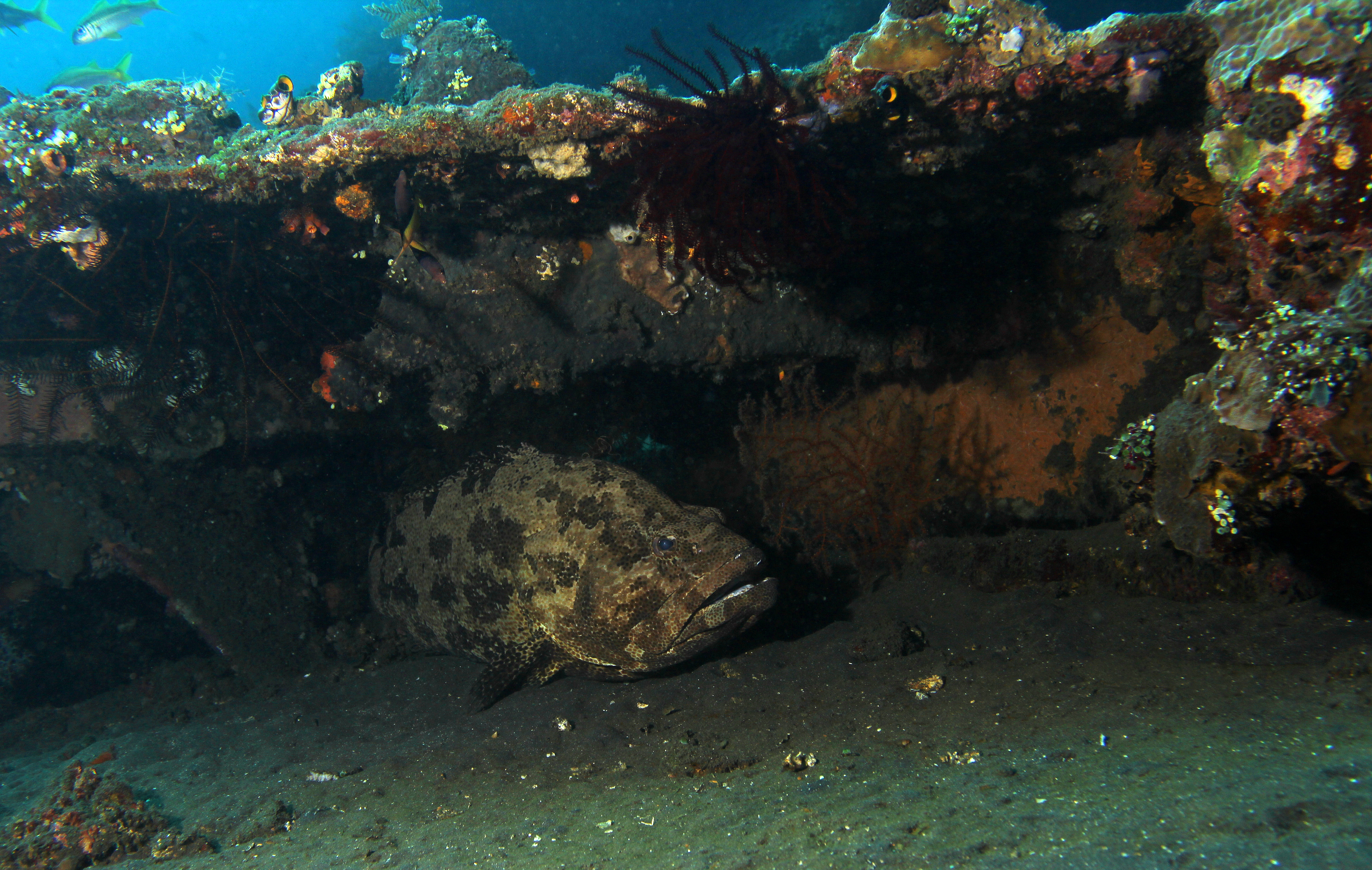 Brown Marbled Grouper