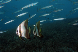 Circular Spadefish adult