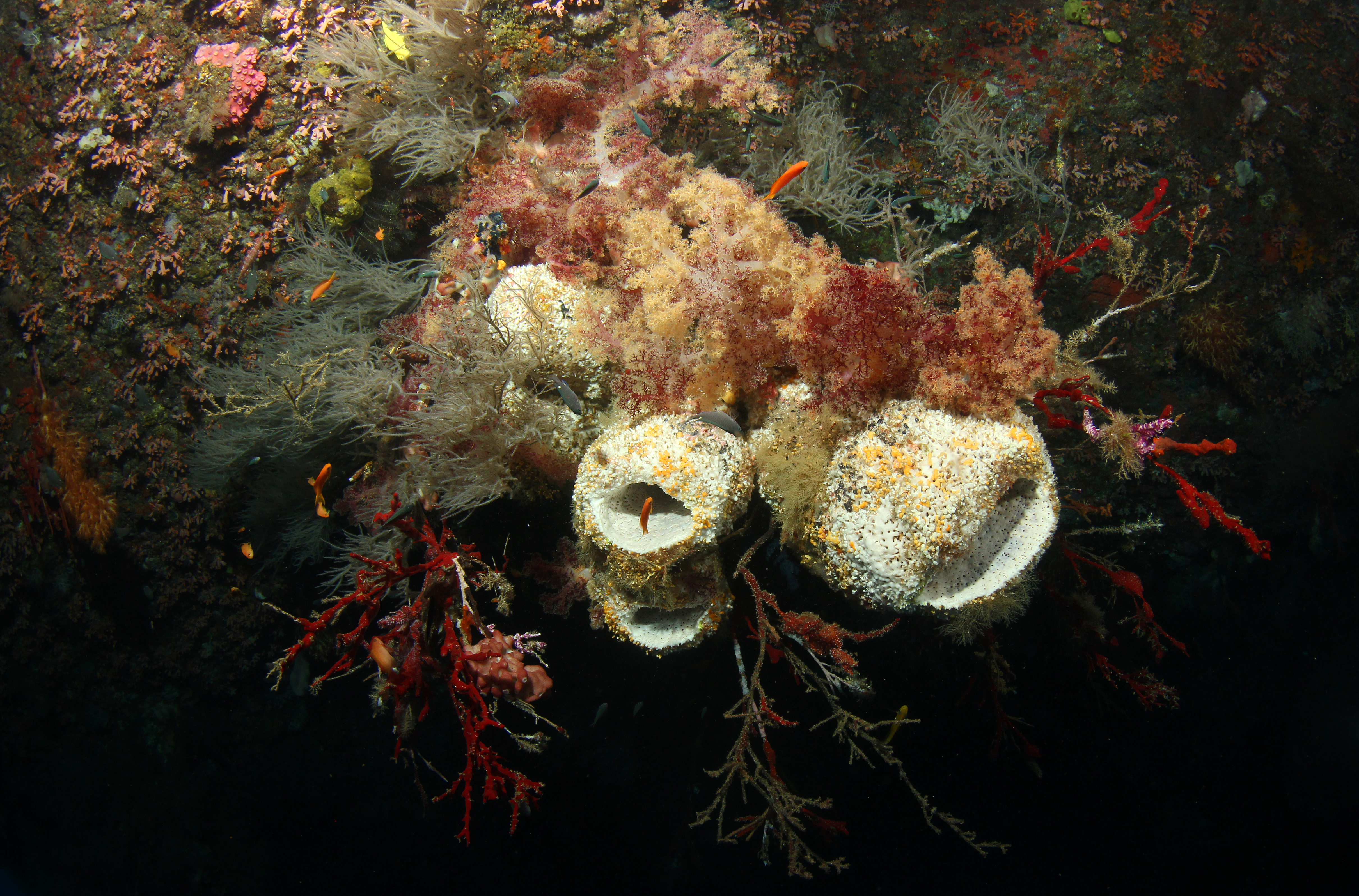 Softcorals and Sponge
