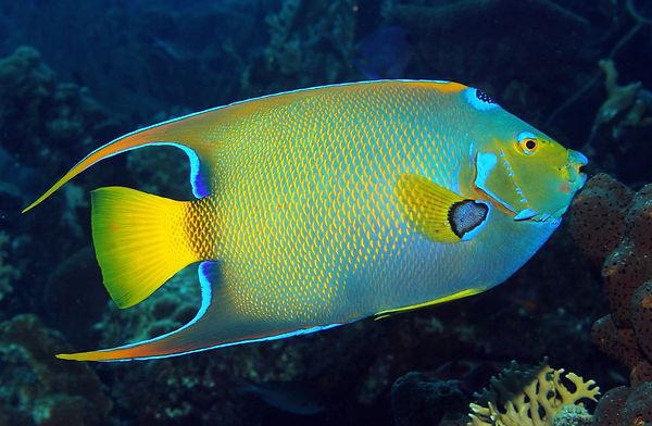 Königinnen Kaiserfisch