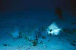Batavia Spadfish Adult